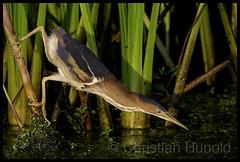 least bittern (m) (Christian Hunold) Tags: leastbittern heron wadingbird bird amerikanischezwergdommel marsh wetland johnheinznwr philadelphia christianhunold