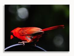 0720_2695 (Dennis J2007) Tags: bird birds cardinal