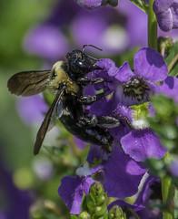 Bee_SAF8756 (sara97) Tags: bee endangered flower floweringplant insect missouri nature outdoors photobysaraannefinke pollinator saintlouis towergrovepark towergrovepark2017 urbanpark