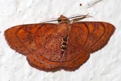 Geometrid Moth (mgrimm82) Tags: pemba tanzania july 2017