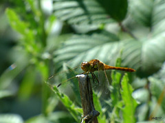 Darter dragonfly. (postman.pete) Tags: hwcp butterfly lumix park summer darter dragonfly