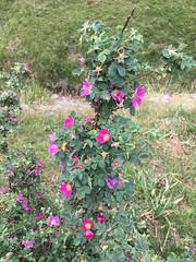 Grattaculo - Rosa heckeliana Tratt.