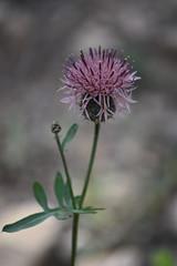 Centaurea (esta_ahi) Tags: lagavarrossa torrellesdefoix penedès barcelona spain españa испания flor flora flores silvestres compositae asteraceae centaurea