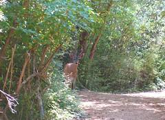 watching_2529R (Michael.C.G) Tags: deer hendersonpark vancouverisland oakbay saanich
