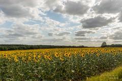 Champ de Tournesols (apprendre-la-photo.weebly.com) Tags: tournesols fleurs champ