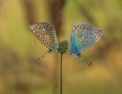 Flirting Blues (SarahW66) Tags: butterflies blues insects insect butterfly nature surreywildlife sigma105mm canon80d