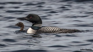 Minnesota Loon with young