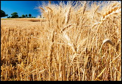 170625-2531-XM1.jpg (hopeless128) Tags: wheat france sky eurotrip fields 2017 nanteuilenvallée nouvelleaquitaine fr