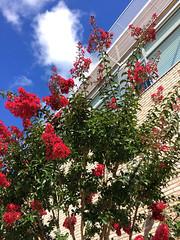Park School ~ Crepe Myrtles (karma (Karen)) Tags: parkschool pikesville maryland walls windows trees crepemyrtles blossoms clouds hww