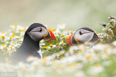 Puffin neighbours (Poyntonshoot Mike) Tags: poyntonshoot mike puffin skomer island pembrokeshire wales wild nature two