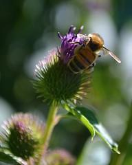 The Cutest Bee I Ever Did See! (DaPuglet) Tags: bee bumblebee macro thistle nature wildlife wings bokeh sunrays5 smileonsaturday bizarrebugs