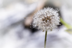 dandelionpuffer (Cindee Snider Re) Tags: nature outdoors dandelion dandelionseeds white flower summer
