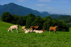 Celles-ci ont réagi plus rapidement (alainlecroquant) Tags: coteauxdesaintpédebigorre saintpédebigorre coteaux abbatiale palombière randonnée hautespyrénées vaches lavoir ferme cheval vtt fleurs