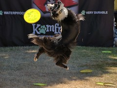 A Valiant  Attempt (swong95765) Tags: dog canine animal skill jump leap frisbee catch trickster