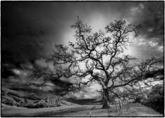 "Silent Witness (Explored) (James A. Crawford - ♪♫♪""Crawf""♪♫♪) Tags: art blackandwhite blackwhite black oaks oaktrees oakleaves california wallpaper camera cambria canoneos canon landscape sanluisobispocounty caucos nature natureplus bw blackwhitephotos blackandwhiteonly creativephotography creativepostprocessing creative creativedigitalphotography colorefexpro4 digitalphotography edges efex eos fineart imageborders innamoramento monochrome niksoftware photoshop silverefexpro2 trees viveza2 white inexplore explore bwartaward"