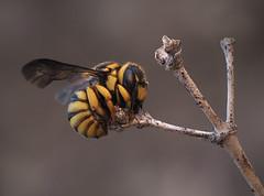 El diminuto letargo (Chusmaki) Tags: ngc avispa letargo insectos macro omd 1 60mm