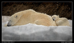 Arctic Sweet Dreams (Sharon's Nature) Tags: polarbearinternational bear ursusmaritimus svalbard norway svalbardnorway arctic sleeping cub mom polarbear