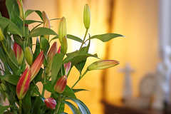 lily backlight bokeh experiment  {explored #129} (Seakayem) Tags: sony slt a99 fullframe minolta 135mm f28 stf smoothtransfocus hvlf58am flash strobe fillflash bounceflash australia canberra australiancapitalterritory belconnen bokeh bokehmaster flower flowers lily