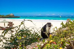 Colobus on the beach
