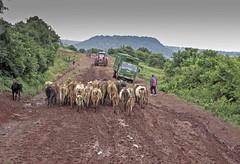 IMGP1919 (petercan2008) Tags: carretera barro trafico ganado vacas tractor camión kenia africa