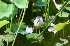 夜鷺 / Nycticorax nycticorax (yiming1218) Tags: 夜鷺 nycticorax 鳥 park taiwan taipei bird animal sony ilce7rm2 a7r2 a7rm2 a7rii sel70200g