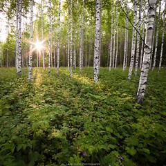 Forest. (laurilehtophotography) Tags: birch summer forest view landscape nature plants sunrise sun morning suomi finland jyväskylä kortesuo nikon d610 samyang 14mm naturephotography laurilehtophotography instagram kesä 2017 metsä koivu