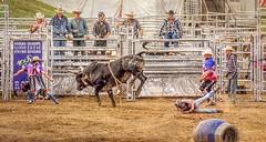 Mayhem (Wes Iversen) Tags: davisburg fencefriday hff michigan nikkor18300mm oaklandcountyfair superkickerrodeo action barrels bullriding bulls clowns cowboys dirt fences rodeos texture