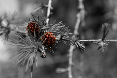 Larch Cones (Nick Thorne, Bodian Photography) Tags: england lakedistrict coniston cumbria bybodianphotography brantwood flickr colour themed 2017 larch tree cones year blackwhite location flora photographer bynickthorne
