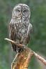 Great Gray Owl (Strix nebulosa) - BC (bcbirdergirl) Tags: sleepingbeauty greatgrayowl bc hiking mountains sleeping sleepyhead slumber strixnebulosa owl raptor birdofprey