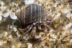 Hermit on barnacle (Shure Media) Tags: rockport massachusetts old garden beach hermit crab green barnacle nudibranch rock