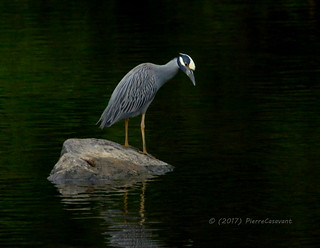 Bihoreau violacé, Yellow-crowned Night-heron.  DSC_7117