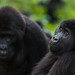 Gruaer's Gorilla group moves through the jungle