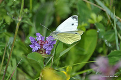 Green Veined White. (mcgrath.dominic) Tags: greenveinedwhite selfheal theburren butterflies coclare