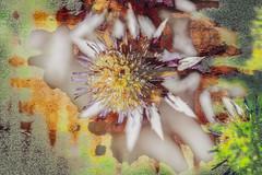 Cardo (seguicollar) Tags: imagencreativa photomanipulación art arte artecreativo artedigital virginiaseguí nikond7200 cardo flor plantas vegetal vegetación closeup macro macrofotografía