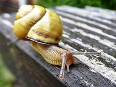 Schnecke beim Spaziergang. (Wallus2010) Tags: snail schnecke nahaufnahme tz61