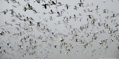 2013-01-20 Snow Geese (39) (2048x1024) (-jon) Tags: anacortes skagitcounty skagit washingtonstate washington pacificnorthwest pnw northwest salishsea pugetsound firisland conway chencaerulescens goose geese lessersnowgoose snowgeese snowgoose oiedesneiges bird waterfowl d90archives flying flight a266122photographyproduction migration