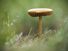 in the rain (Meinersmann, Thomas) Tags: olympus omdem5markii 60mmf28macro makro macrounlimited mushroom pilz focusstacking thomasmeinersmann natur