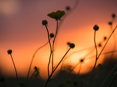 Sunset Silhouettes (shaftina©tion) Tags: dark dusk golden goldenlight outline shadow shape silhouette backlight backlit black buttercup clouds cloudy evening flower light rimlighting rimlit silhouetted sky sundown sunset