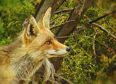 Zorro rojo (José Luis Pérez Navarro) Tags: zorro vulpes animal wild joséluispérez nikon sierradecazorla jaén spain fox redfox salvaje sierra parquenatural