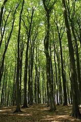 Buchenhochwald (julia_HalleFotoFan) Tags: rügen inselrügen jasmund nationalparkjasmund königsstuhl viktoriasicht buchenhochwald herthasee halbinseljasmund