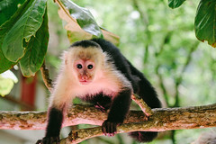 Orphaned capuchin (Hannah_Kirkland) Tags: monkey wildlife conservation costa rica rescue center