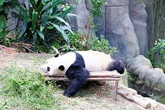 13 (樂活的大方) Tags: 20170724sb 新加坡動物園 river safari