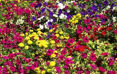 Mainz, Rosengarten (Rose garden) (HEN-Magonza) Tags: mainz stadtpark municipalpark rheinlandpfalz rhinelandpalatinate deutschland germany blumenbeet flowerbed rosengarten rosegarden