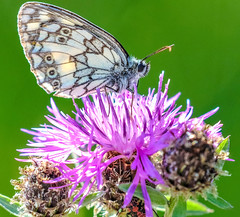 marbled white on a thistle (I was blind now I see!) Tags: slovakia slovensko slovakian white marbled butterfly thistle head flower wings luminous bright see through perching pollinating pollenation pollination bokeh