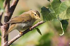 Willow warbler (uusija) Tags: phylloscopustrochilus willowwarbler bird linnut luonto nature pajulintu uunilintu