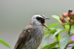 D5D_0173.jpg (Light Machinery) Tags: bulbul yellowventedbulbul