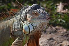 Iguana (Debatra) Tags: iguana bangalore bengaluru blore karnataka southindia india d3300 55200mm 55200 nikon nikkor animal reptile wildlife bannerghatta bannerghattanationalpark bannerughatta asia