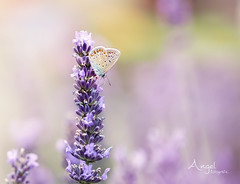 in my garden (Wilma van Oorschot) Tags: wilmavanoorschot angelphotography olympusem5 olympusomde5 olympus mzuikodigital75mm118 75mm insects flowers flowerswithinsects lavender lavande butterfly papillon icarus nature outdoor summer garden polyommatusicarus commonblue