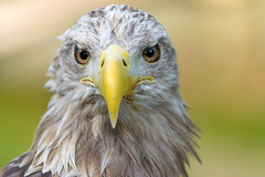 White-Tailed Eagle (Ray Moloney Photography) Tags: ifttt 500px portrait bird nature flight animal eye wildlife close up feathers wing wild feather predator hunter eagle hawk raptor prey beak avian falconry white tailed raymoloneyphoto