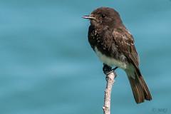 Sooty Phoebe (MelRoseJ) Tags: sanrafael california unitedstates birds nature a77ii alpha autofocus sonyalpha sal70400g sony sonyilca77m2 blackphoebe lasgallinas